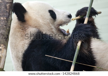 A Giant Panda being eating bamboo in captivity