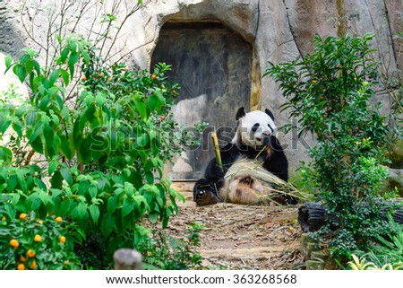 A giant panda (or panda bear, Ailuropoda Melanoleuca) is eating bamboo sticks in Singapore zoo. An adult panda eats about 20kg of bamboo a day (the weight of 100 bowls of rice). Soft and shallow focus - stock photo