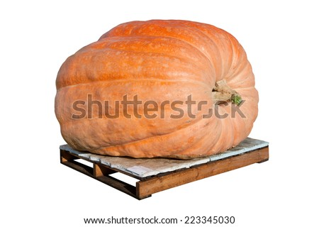 A giant pumpkin isolated on white and sitting on a wooden pallet. - stock photo
