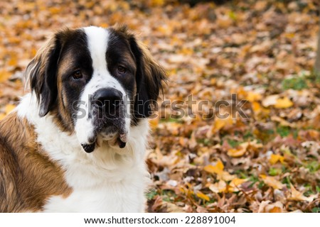 A giant Saint Bernard dog lays on grass surround by fallen leaves. - stock photo