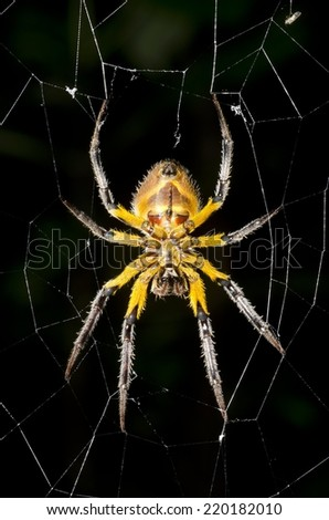 A giant spider in the Peruvian Amazon Rainforest, found during a night hike.   - stock photo