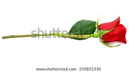 A gift red rose branch - stock photo