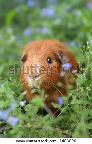 A ginger guinea-pig in a field of blue flowers - stock photo
