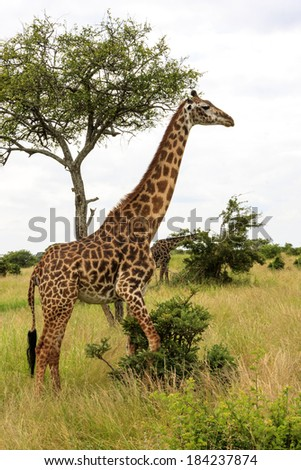 A giraffe - stock photo