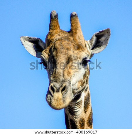 A giraffe at a South African game reserve.
