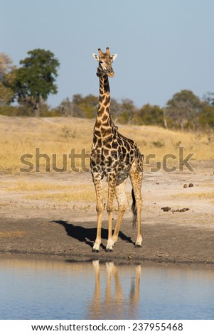 A giraffe at the water's edge - stock photo