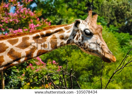 A giraffe at the zoo that eats into the branches