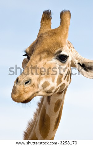 a giraffe close up and at eye level