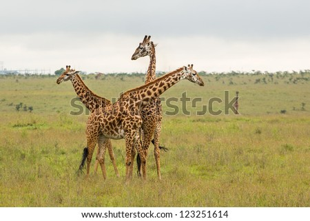 A giraffe family roaming freely at the Nairobi National Park in Kenya - stock photo