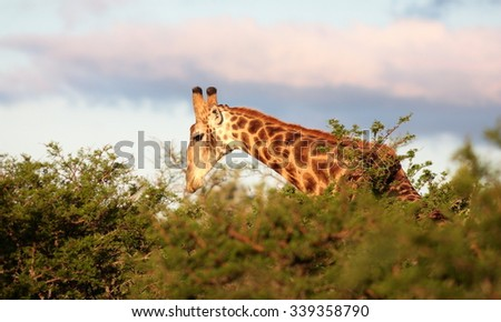 A giraffe feeding in this low down angled, sepia tone image. - stock photo