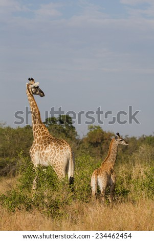 A giraffe, Giraffa cameloparalis, and her young in the Kruger National Park, South Africa. - stock photo