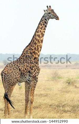 A Giraffe (Giraffa camelopardalis) in Serengeti National Park, Tanzania - stock photo