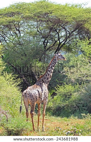 A Giraffe (Giraffa camelopardalis) in the vegetation in Lake Manyara National Park, Tanzania