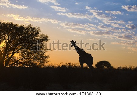 A Giraffe (Giraffa camelopardalis) silhouetted against a sunrise sky in the Kalahari desert, Kgalagadi transfrontier park, South Africa. - stock photo