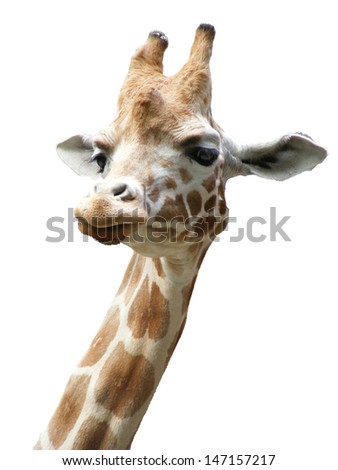 A giraffe head against a blank background