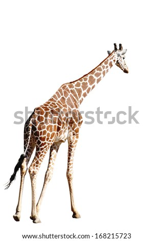 A Giraffe Isolated on White