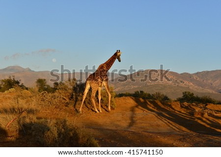 A Giraffe on the plains of South Africa at sunrise
