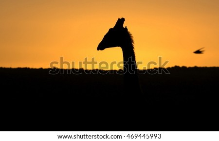 A giraffe silhouette at sunset. South Africa