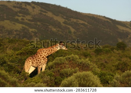 A giraffe stands in the open with a beautiful mountain backdrop. South Africa - stock photo