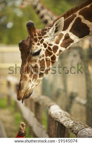 a giraffe try to capture a grass from a hand of a young boy