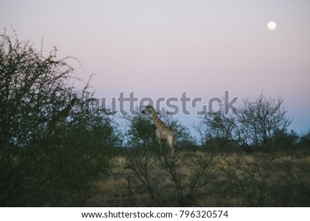 A giraffe walking against the sunset sky in South Africa