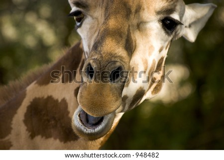 A Giraffe, which appears to be either talking, chewing or maybe even smiling.