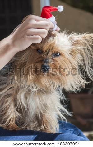 A girl combing her dog for Christmas