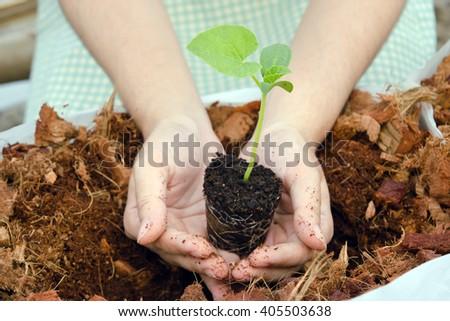 A girl grows melon sapling in small home garden - stock photo