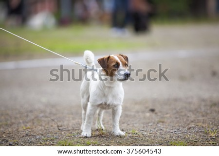 A girl is training and teaching the dog on a dog show. Image taken on a sandy field and on a cloudy day. The dog breed is jack russell terrier.