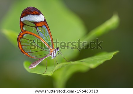 A Glasswing Butterfly, Also Called a Greta Oto, Resting on a Green Leaf - stock photo