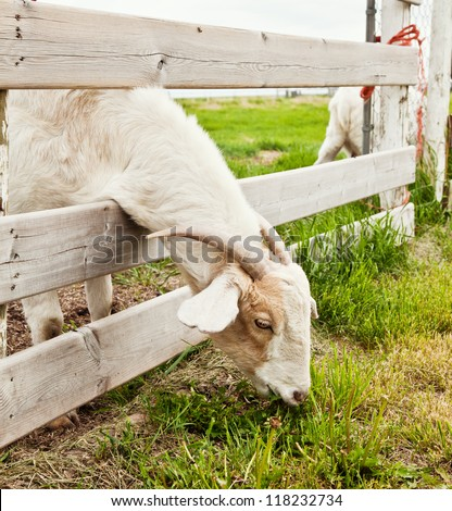 A goat eating grass through a fence. - stock photo