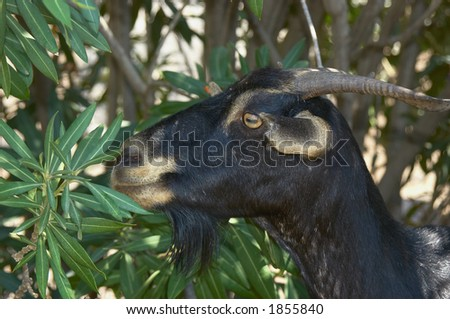 a goat having a look at you