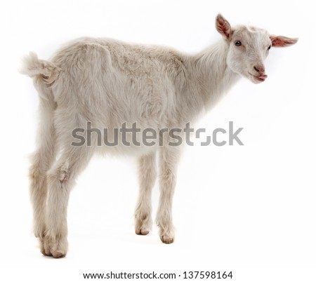 a goat isolated on white background - stock photo