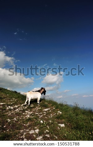 a goat on a mountain trail admire the landscape