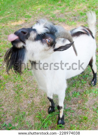 A goat puts out its tongue