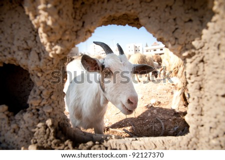 A goat's head appears through a hole in a concrete wall in the Anata area of East Jerusalem. - stock photo