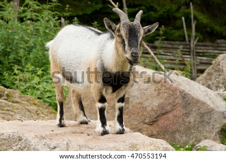 A goat standing on a stone