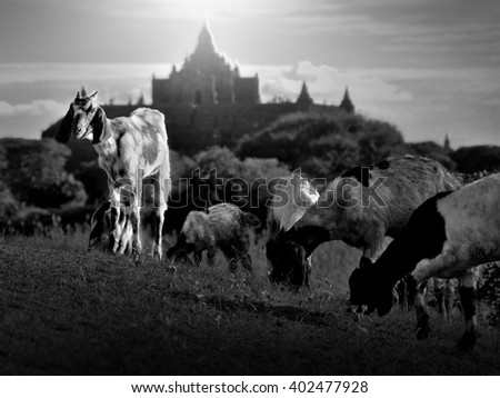 A goats looked around while the others are grazing at near temple thapayada in bagan, myanmar. View from black and white - stock photo