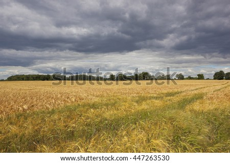 a golden barley field with trees and woodlands under a dramatic stormy sky in summer
