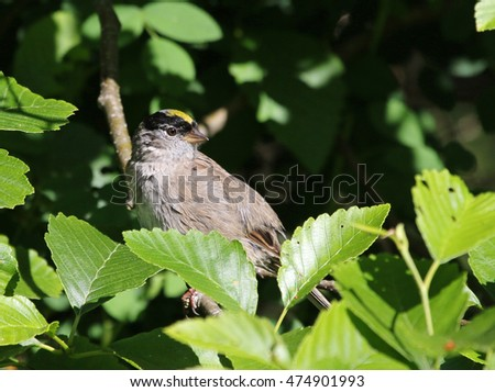 A Golden-crowned Sparrow (Zonotrichia atricapilla) perched in a tree.  Shot in Gabriola Island, British Columbia, Canada.