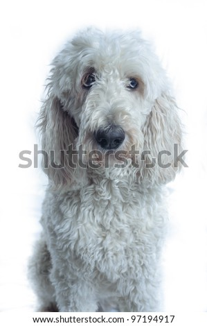 A Golden Doodle adult dog poses against a white backdrop with head directed to the camera, but eyes looking clearly to the right.