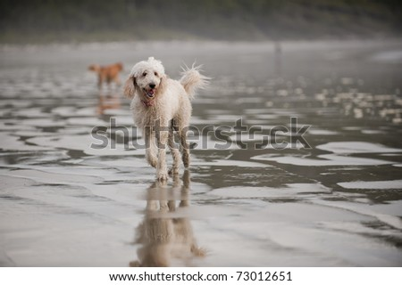 A Golden Doodle runs towards the camera on a wet sandy beach. - stock photo