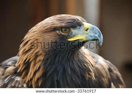 A golden eagle held in captivity at a Falconry - stock photo