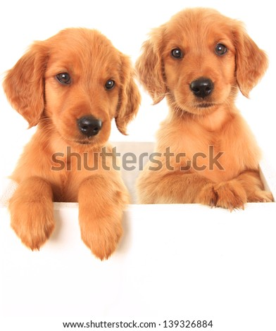 A golden Irish/ red Retriever puppies. A hybrid between a golden retriever and an Irish setter. - stock photo