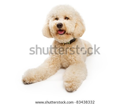 A golden Labradoodle Dog isolated on a white background - stock photo