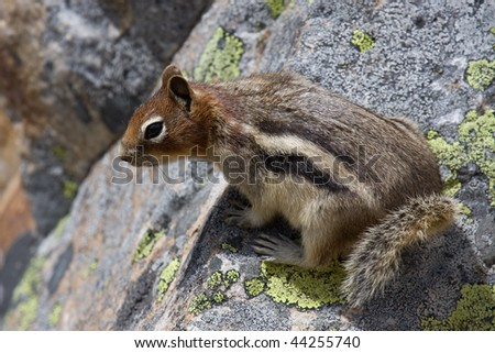 A golden-mantled ground squirrel sitting on a rock. Rocky Mountains.
