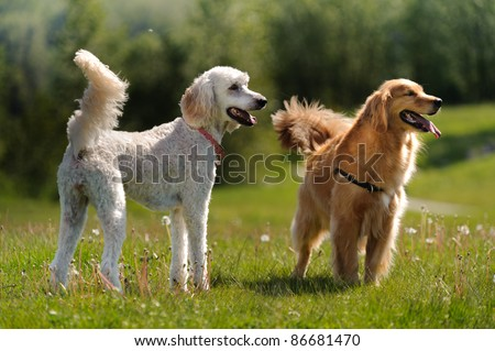 A golden retriever and a golden doodle dog stand in a grass field and look to the right of the camera. There are dandelions growing in the field.