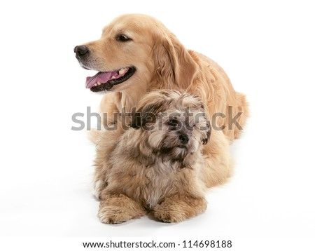 A Golden Retriever and a Shi Poo looking in different directions