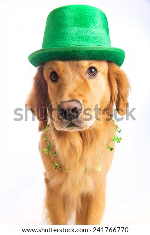 A golden retriever dog celebrating St. Patrick's Day - stock photo