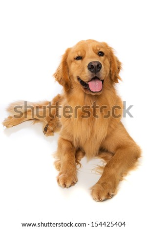 A golden retriever dog laying down - stock photo